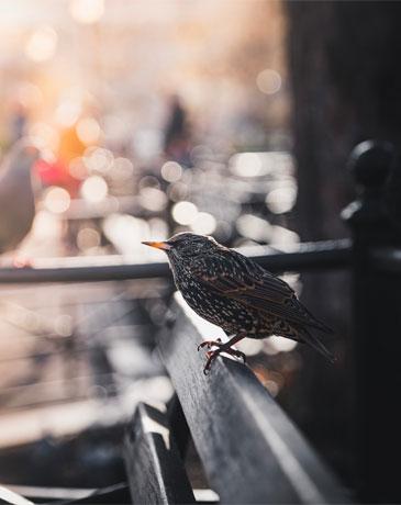 Rural bird in the urban jungle